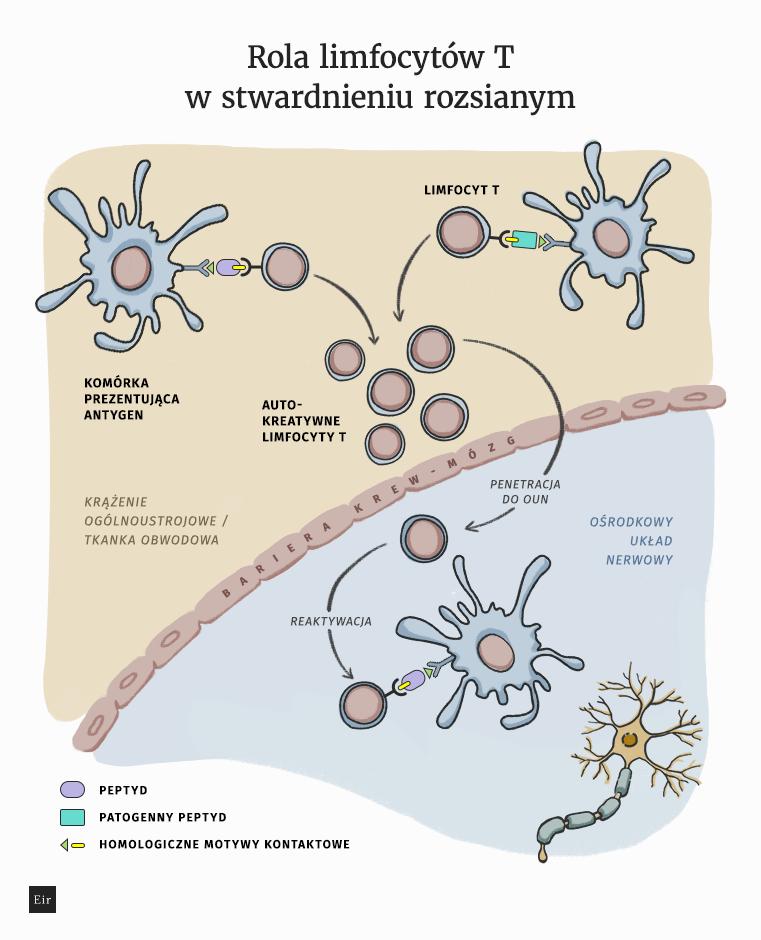Limfocyty T w stwardnieniu rozsianym