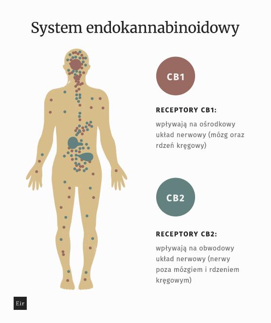 Schemat systemu endokannabiboidowego