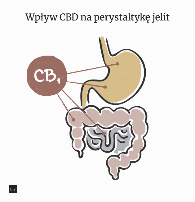 CBD a zespół jelita drażliwego - wpływ CBD na perystaltykę jelit